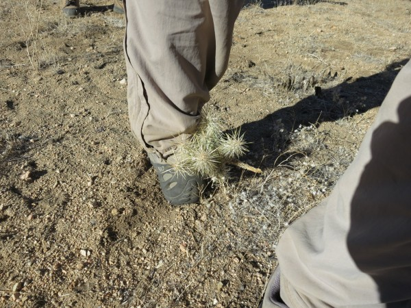 So after cheating death on the slopes of Smith Water, and safely back down on the flats, Pete walks into a Cholla. He claims it was because he was looking at the evil GPS I made him carry instead of looking at the ground. In any case it was a welcome source of entertainment. (by P. McCurdy)
