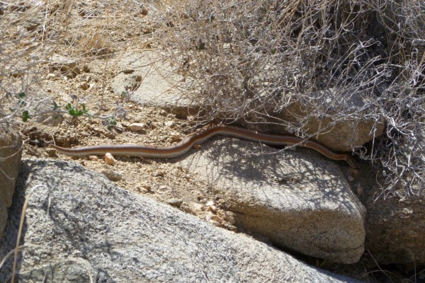 Yes, it's snake season! But not to be concerned, only a nice, pretty Rosy Boa.