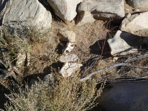 A look at the Big Horn Sheep carcass just off the main canyon. There were other bits and pieces scattered nearby.