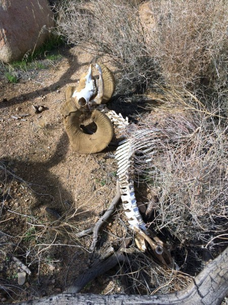 Yet another Big Horn Sheep skeleton. At least I'm finding something.