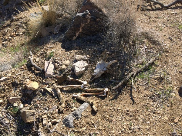 One of the four Big Horn sheep skeletons I came across on this hike. I see these every now and then, but I think this is my record number for a single hike.