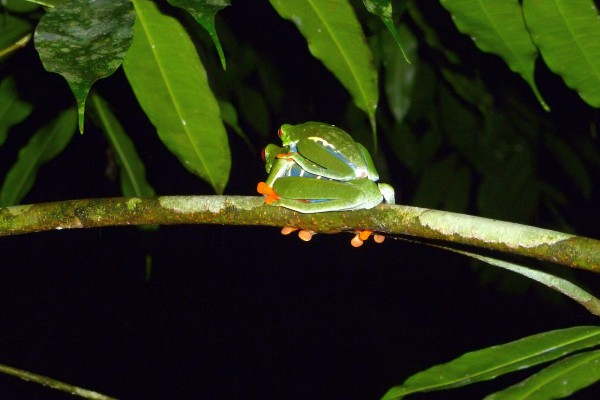 Frog sex deep in the jungle. Go out late at night with a flashlight and you'll see weird stuff.